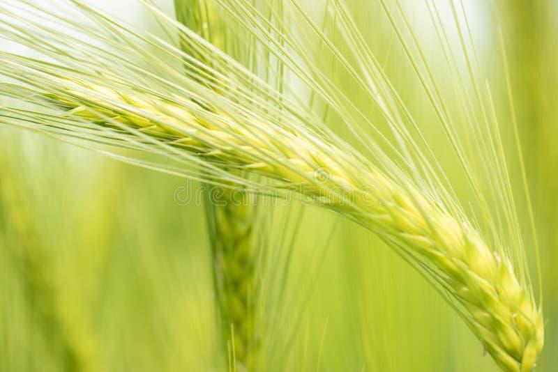 Plantas verdes do trigo que crescem em um campo, fundo brilhante fotografia de stock
