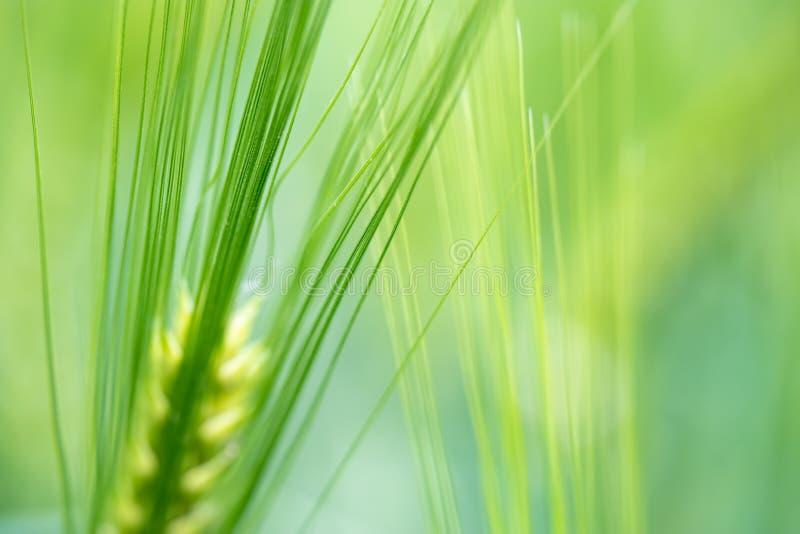 Plantas verdes do trigo que crescem em um campo, fundo brilhante imagem de stock