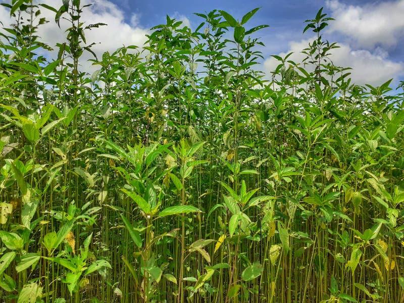 Plantas verdes e altas da juta Cultivo da juta em Assam na Índia fotografia de stock royalty free