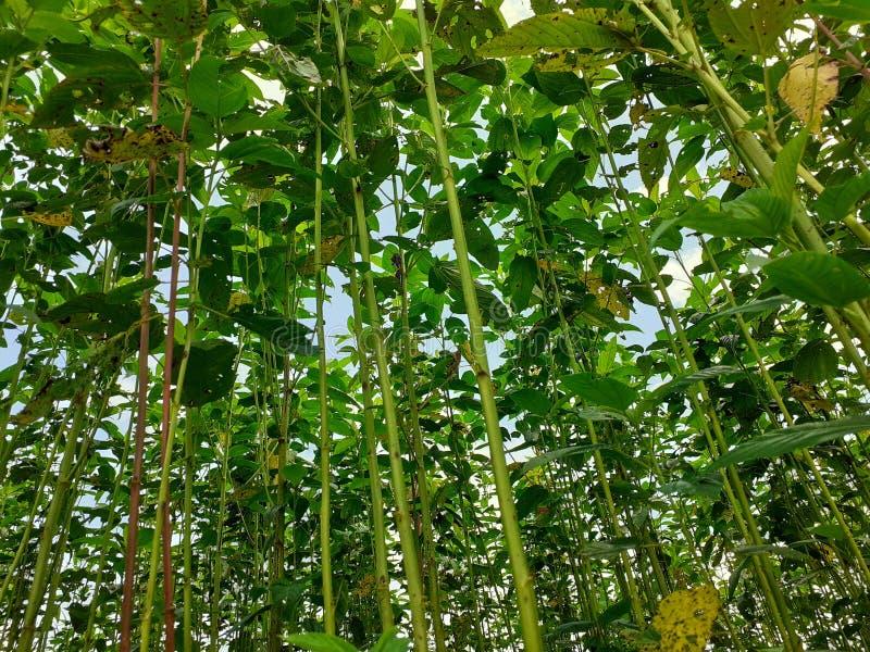 Plantas verdes e altas da juta Cultivo da juta em Assam na Índia imagens de stock