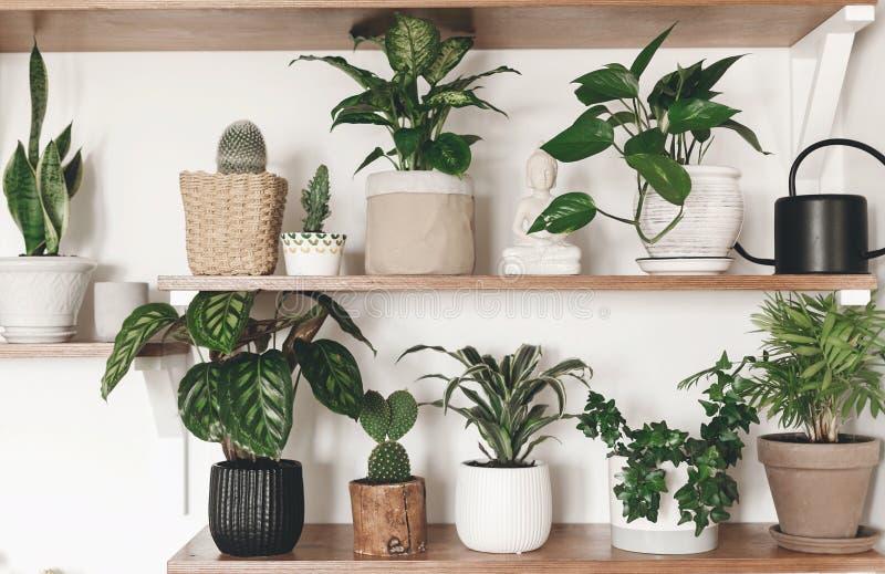 Plantas verdes elegantes y regadera negra en estantes de madera Decoración moderna del sitio del inconformista Cactus, calathea,  imagenes de archivo