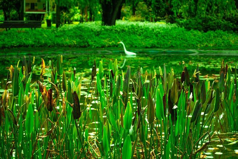 Plantas verdes en el lago del parque con un pato imagen de archivo libre de regalías