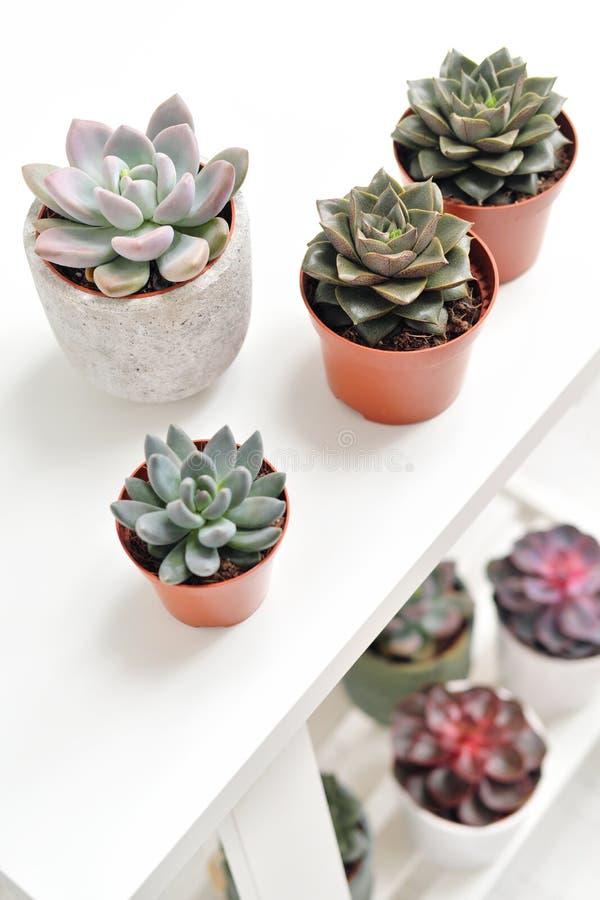 Plantas verdes en potes concretos y blancos del cemento, succulents coloreados, soporte en la tabla blanca y estante r imágenes de archivo libres de regalías