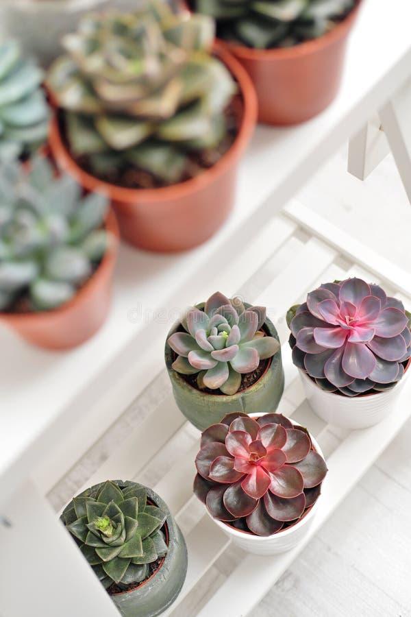 Plantas verdes en potes concretos y blancos del cemento, succulents coloreados, soporte en la tabla blanca y estante r imagen de archivo