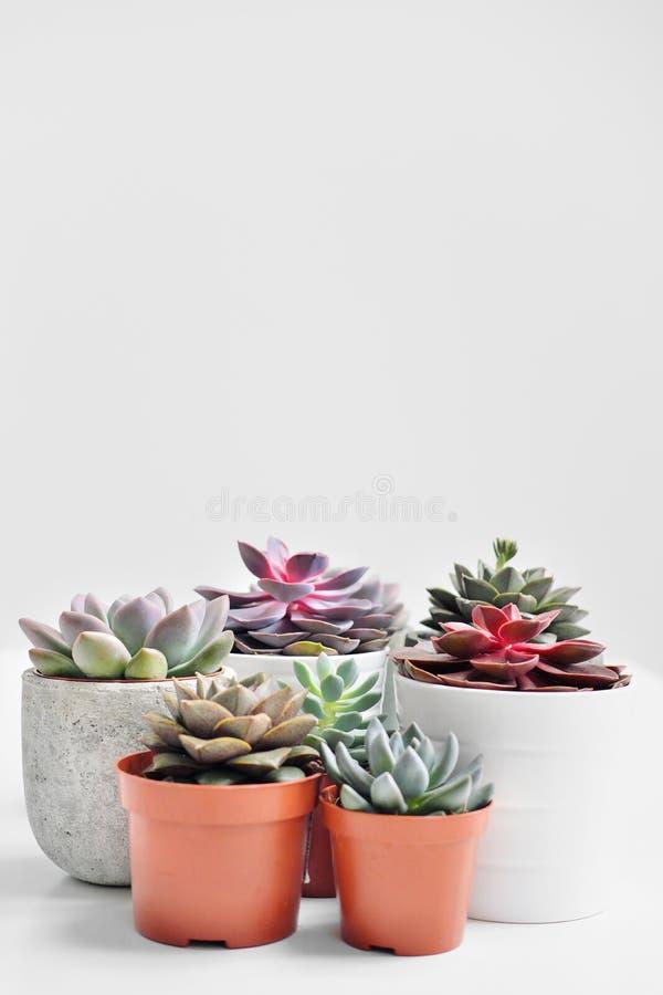 Plantas verdes en potes concretos y blancos del cemento, succulents coloreados, soporte en la tabla blanca y estante r fotografía de archivo