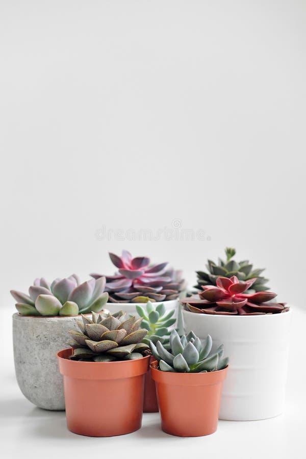 Plantas verdes en potes concretos y blancos del cemento, succulents coloreados, soporte en la tabla blanca y estante r foto de archivo