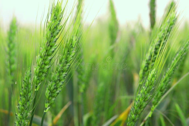 Plantas verdes fantasmagóricas altas del trigo fotografía de archivo libre de regalías