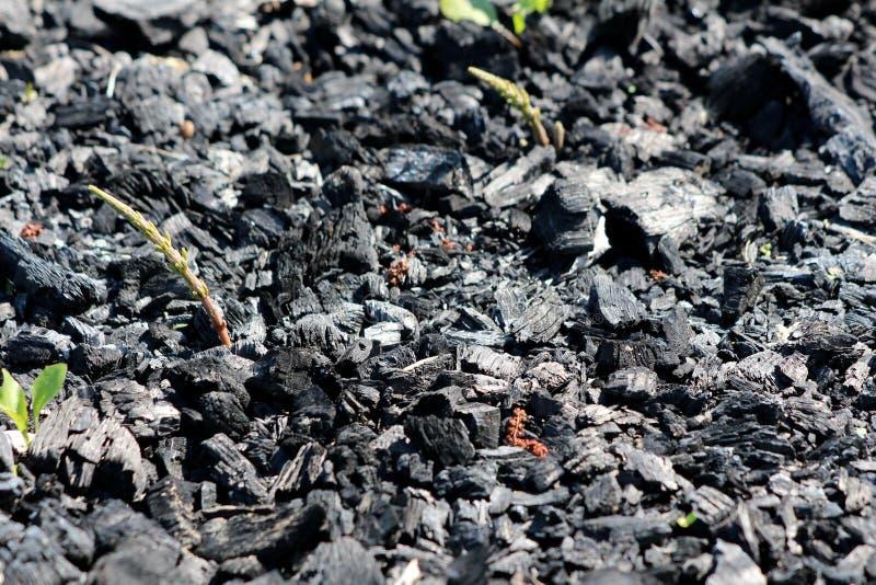 Plantas verdes frescas que crescem da propagação de carvão na terra deixada do último assado no jardim local imagens de stock royalty free