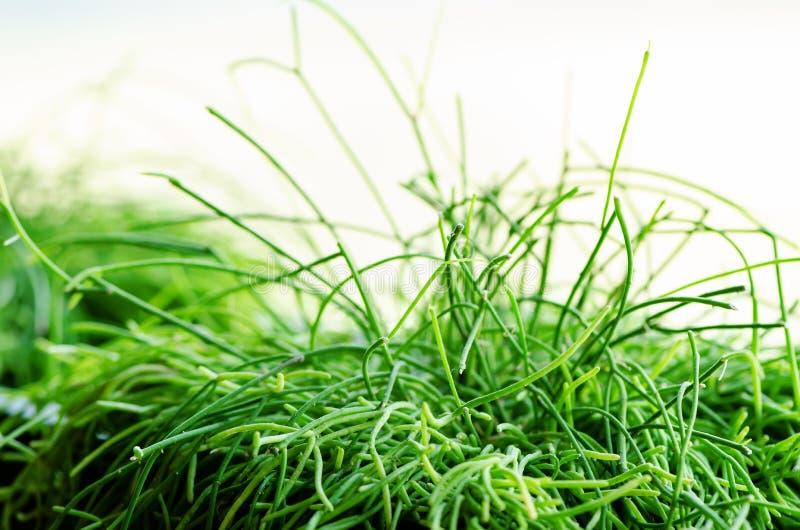 Plantas verdes ou grama no recipiente preto, potenciômetro para a decoração da casa, do restaurante, do café e do escritório Mola foto de stock royalty free