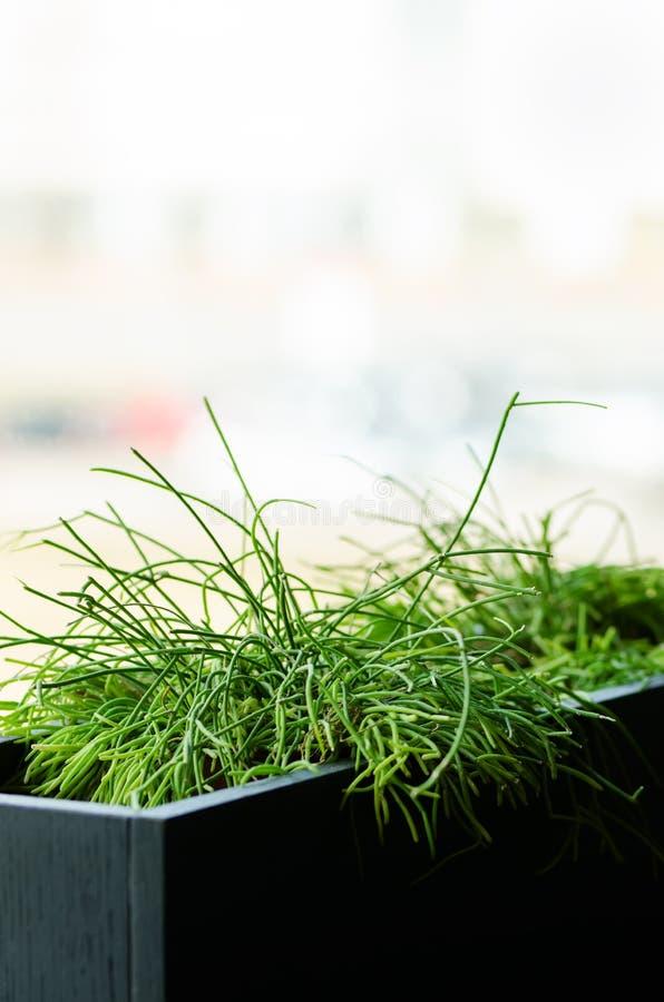 Plantas verdes ou grama no recipiente preto, potenciômetro para a decoração da casa, do restaurante, do café e do escritório Mola fotos de stock