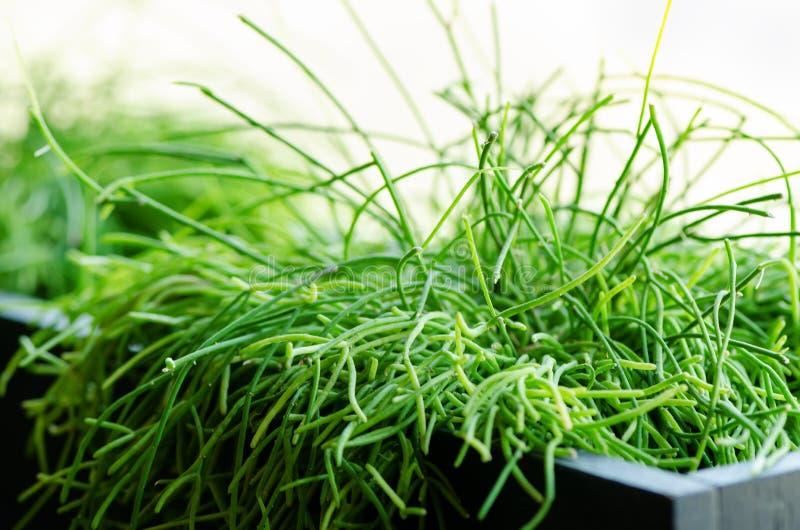 Plantas verdes ou grama no recipiente preto, potenciômetro para a decoração da casa, do restaurante, do café e do escritório Mola imagens de stock