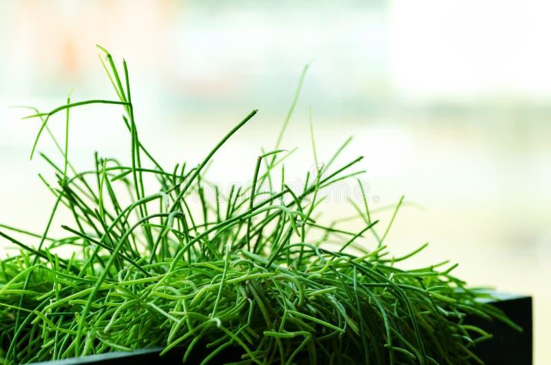 Plantas verdes ou grama no recipiente preto, potenciômetro para a decoração da casa, do restaurante, do café e do escritório Mola imagens de stock royalty free