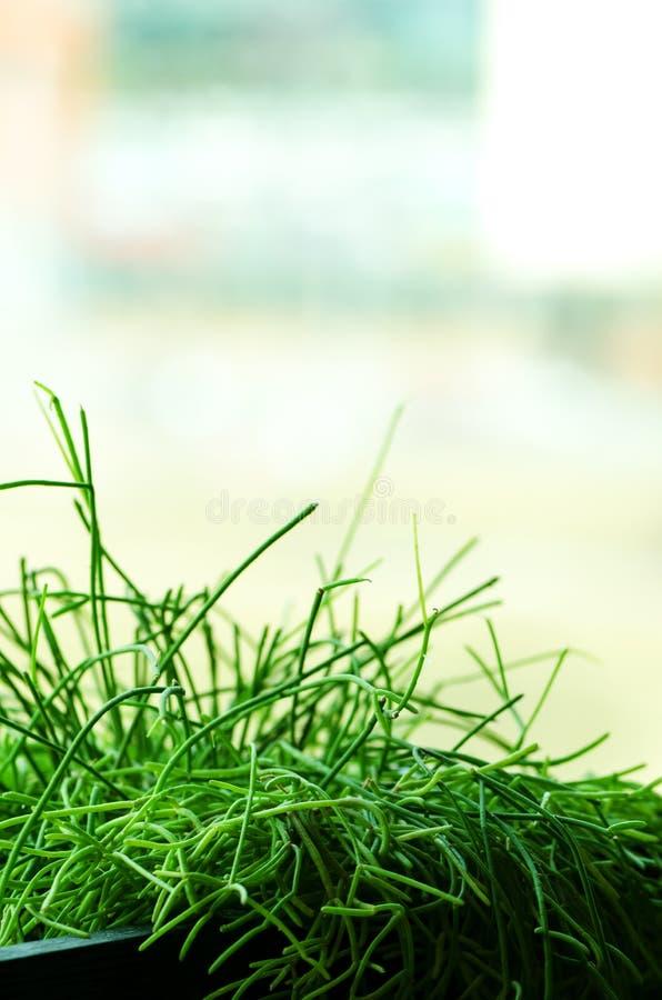 Plantas verdes ou grama no recipiente preto, potenciômetro para a decoração da casa, do restaurante, do café e do escritório Mola foto de stock