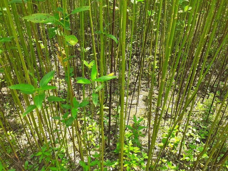 Plantas verdes y altas del yute Cultivo del yute en Assam en la India imagenes de archivo