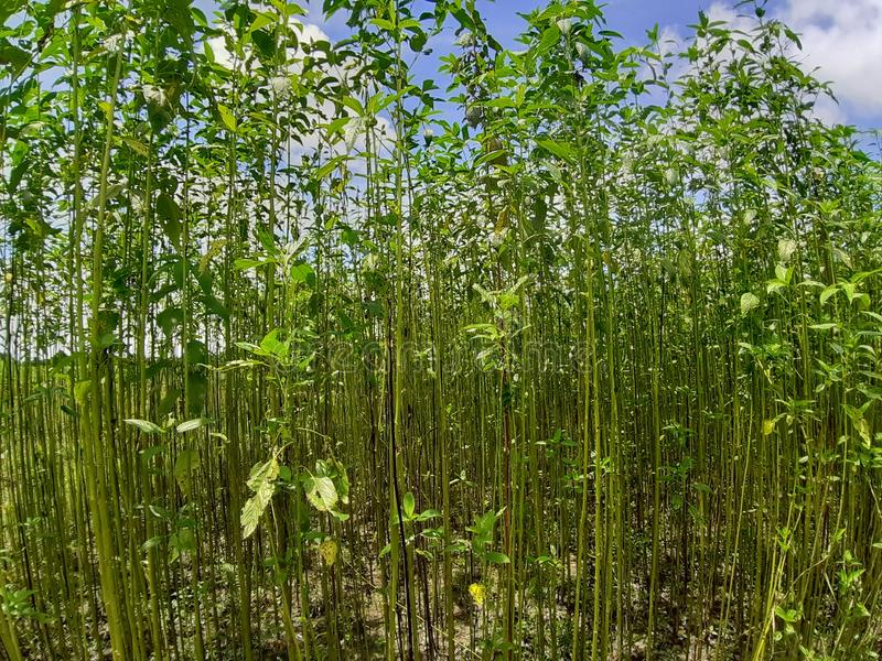 Plantas verdes y altas del yute Cultivo del yute en Assam en la India foto de archivo
