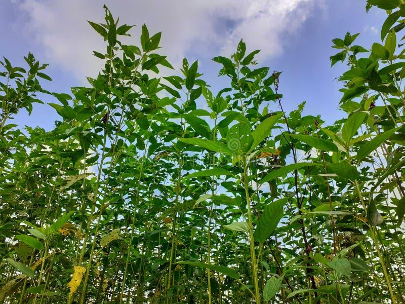 Plantas verdes y altas del yute Cultivo del yute en Assam en la India imágenes de archivo libres de regalías