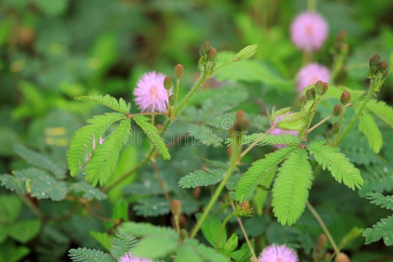 Plantas y flores de la mimosa fotografía de archivo