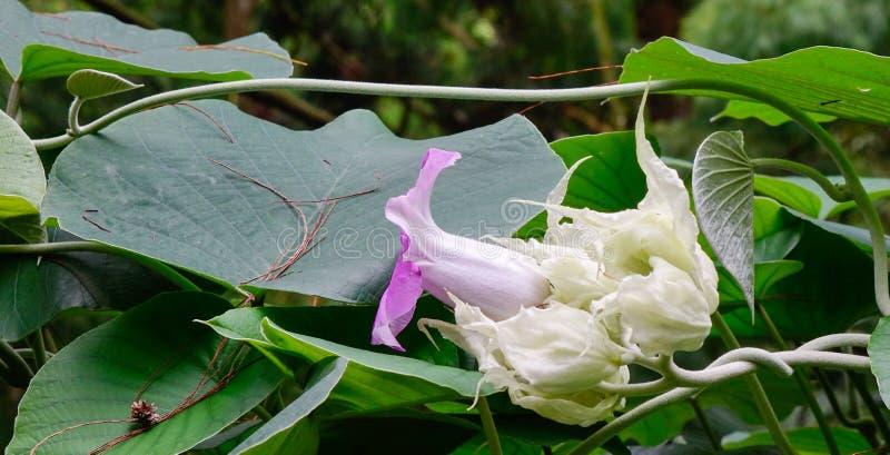 convolvulaceae plantas y flores del convolvulaceae foto de archivo imagen 71516087