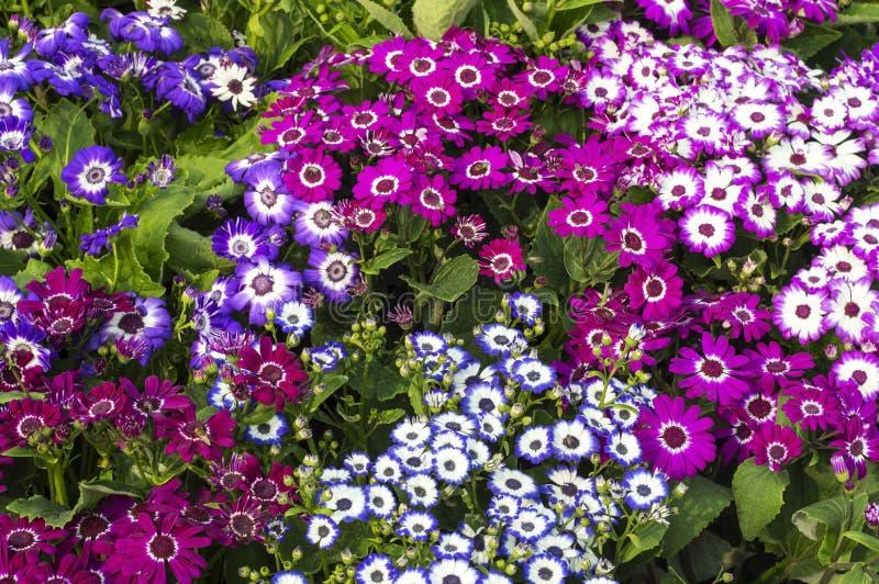 Plantas y flores mezcladas del gerbera imagenes de archivo