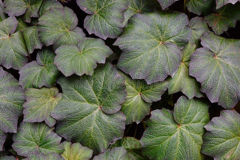 Plantas y hojas del Tropaeolaceae imagenes de archivo
