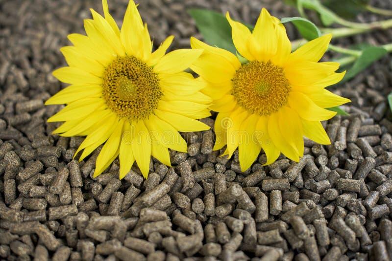 Plantas y pelotillas del girasol foto de archivo libre de regalías