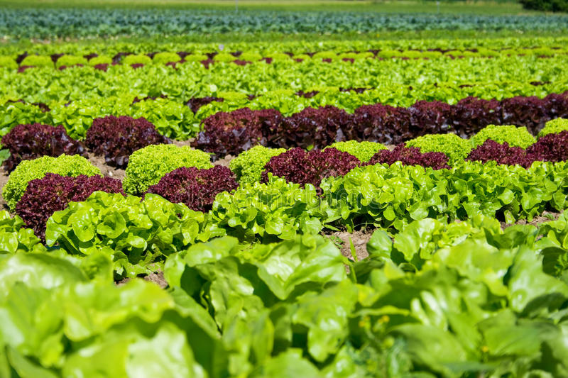 Download Plantation stock image. Image of cultivated, fresh, color - 15158047