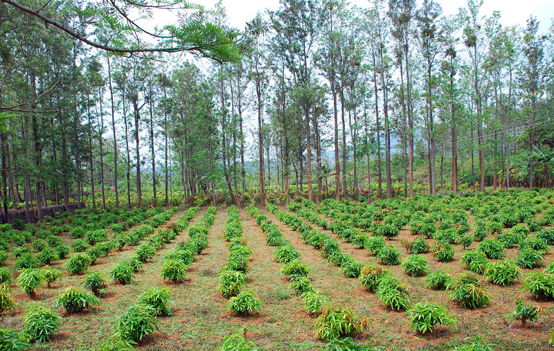 Plantation royalty free stock photography