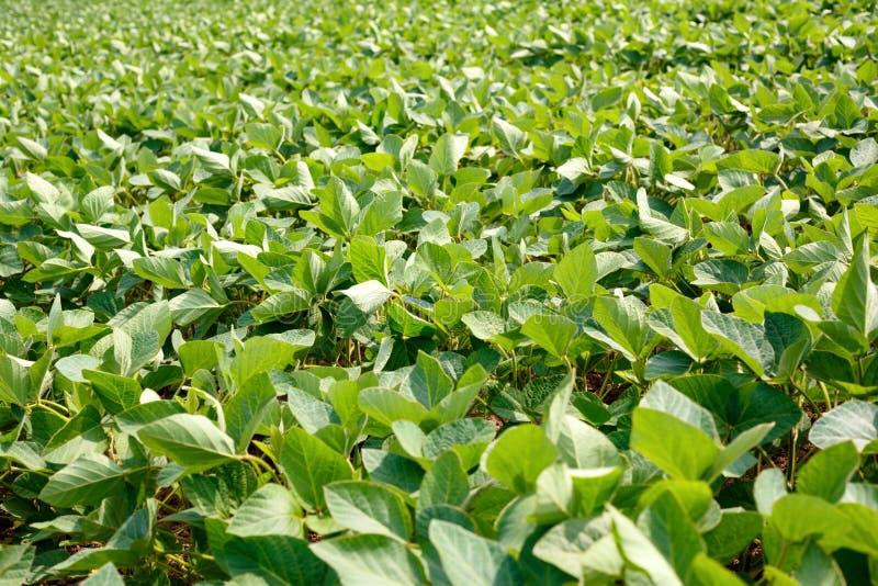 Plantation agricole de soja - usine de soja croissante verte photo libre de droits
