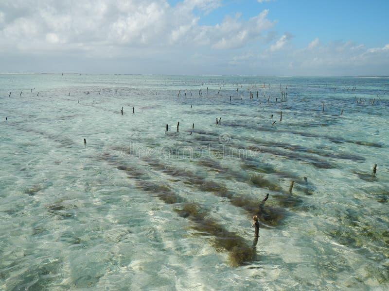 Plantation algae Zanzibar stock photo