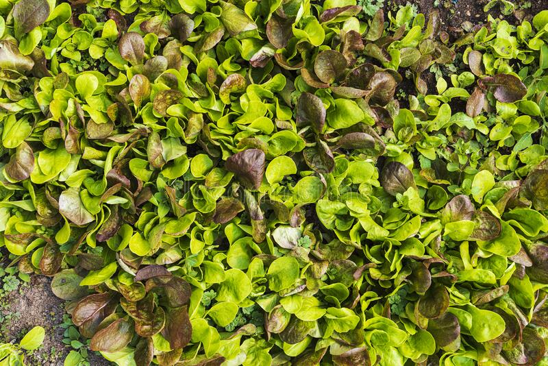 Plantation of biologic green salad. In a sunny day stock images