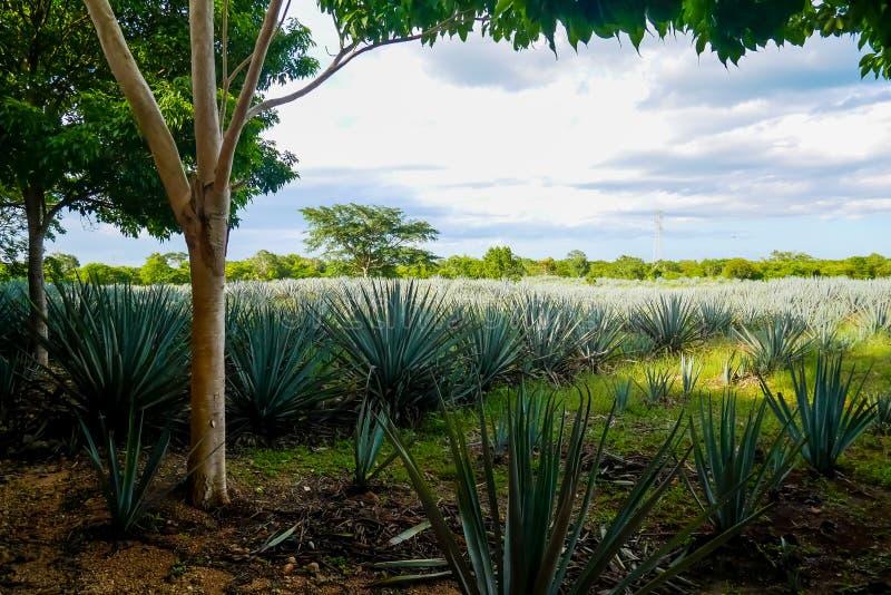Plantation bleue d'agave images libres de droits