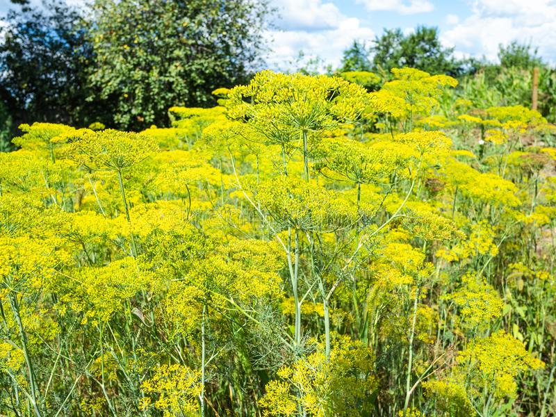 plantation of blossoming dill herbs in garden royalty free stock photography