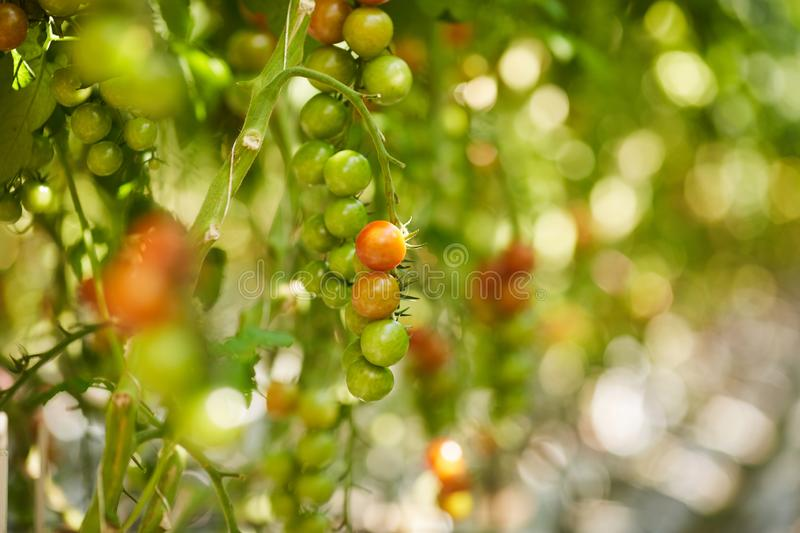 Plantation of cherry tomatoes royalty free stock photography