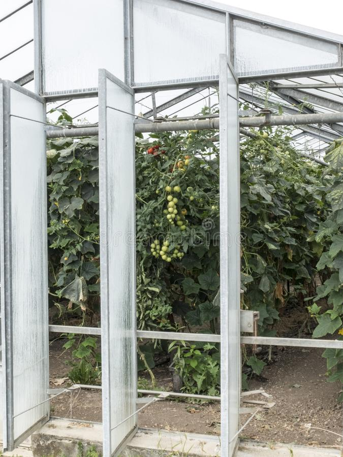 Plantation of cherry tomatoes in a greenhouse royalty free stock images
