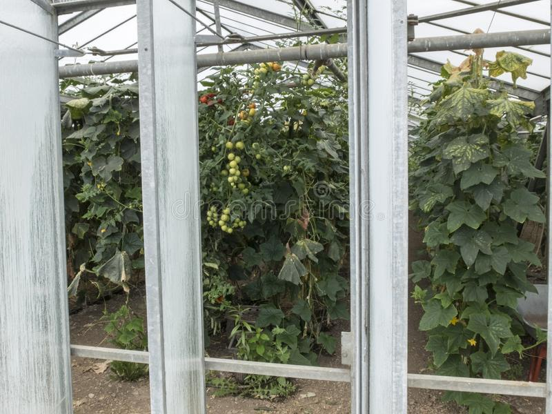 Plantation of cherry tomatoes in a greenhouse stock images