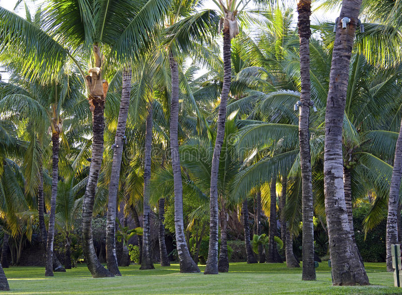 Download Plantation Of Coconut Trees Royalty Free Stock Photography - Image: 31026517