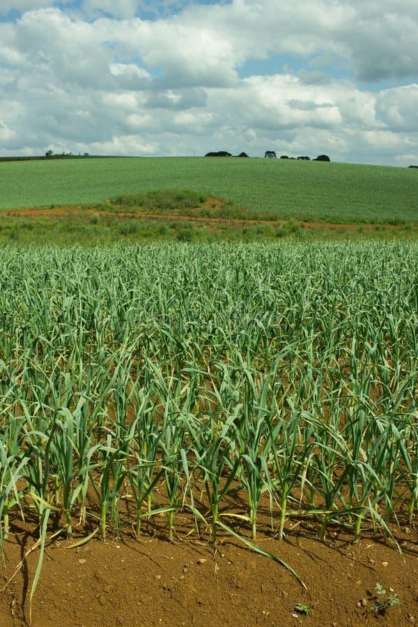 Plantation d'ail photo stock. Image du organique ...