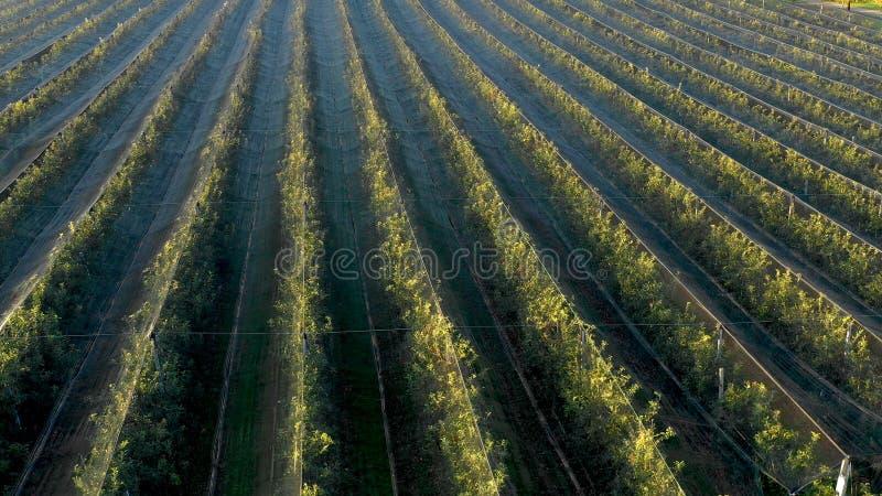 Plantation d'Apple, verger avec l'anti filet de grêle pour la protection photos stock