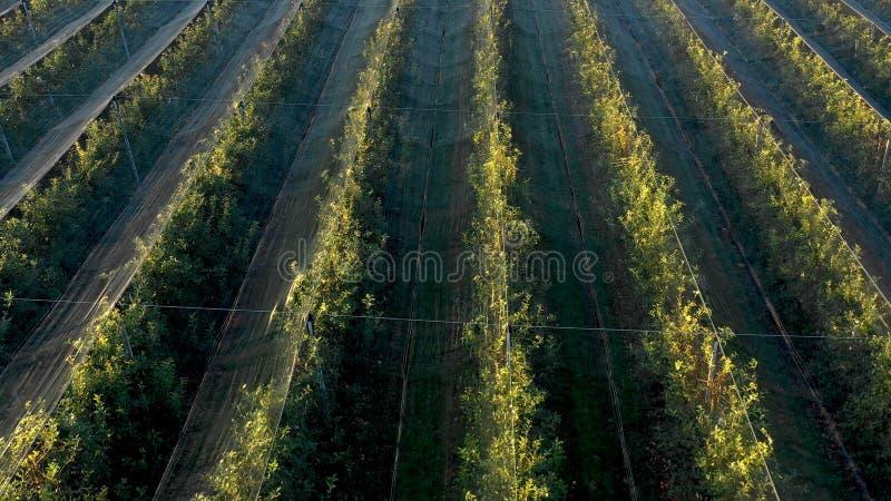 Plantation d'Apple, verger avec l'anti filet de grêle pour la protection photographie stock