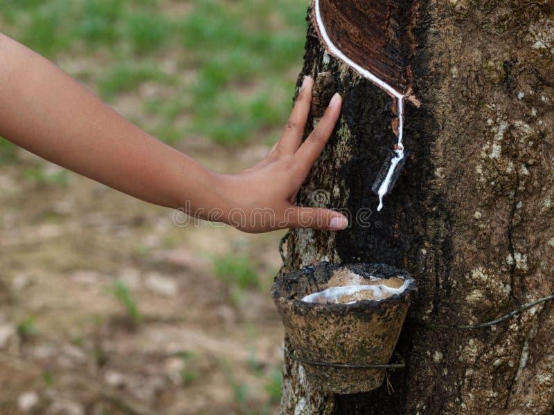 Plantation d'arbre en caoutchouc photos libres de droits