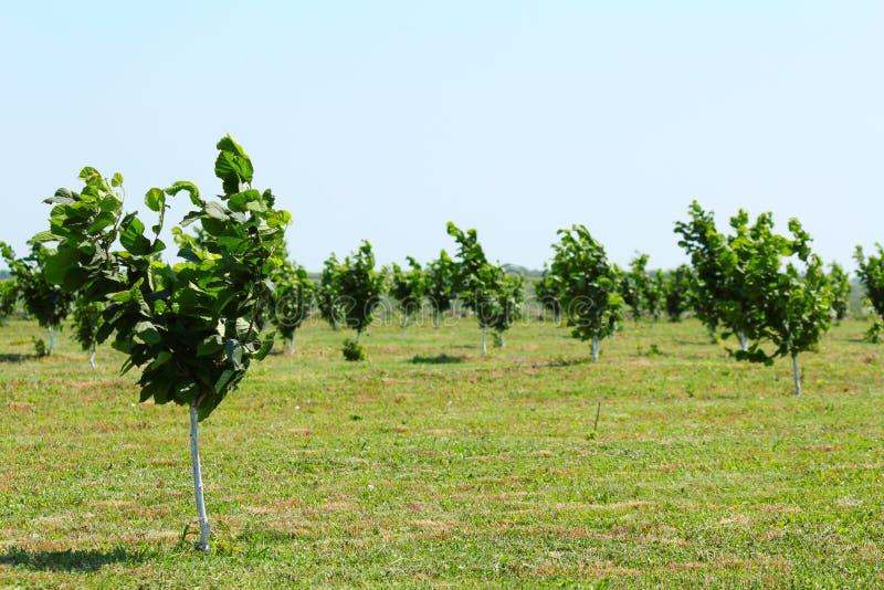Plantation d 39 arbres de noisette photographie stock libre de droits image 19741987 - Plantation d arbres synonyme ...