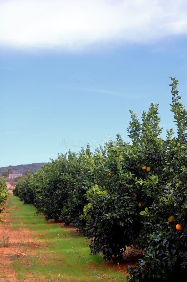 Plantation d'arbres oranges photo stock