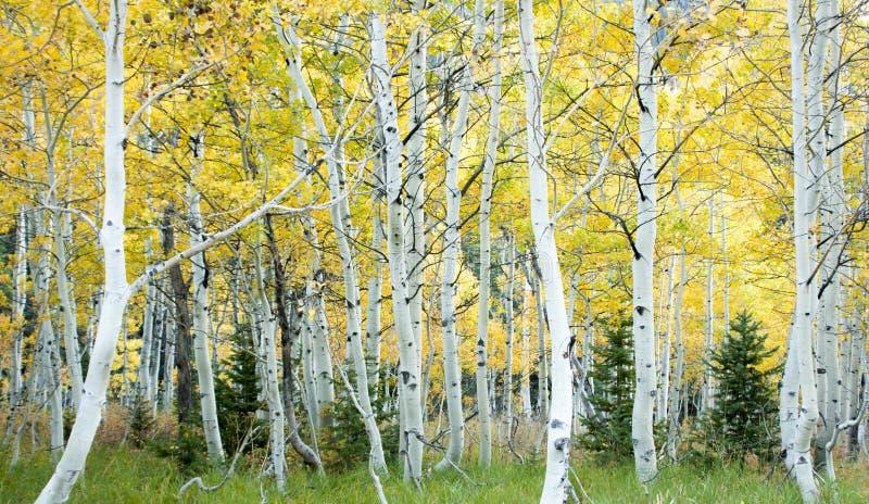 Plantation d'Aspen dans l'automne, tremuloide de populus images stock
