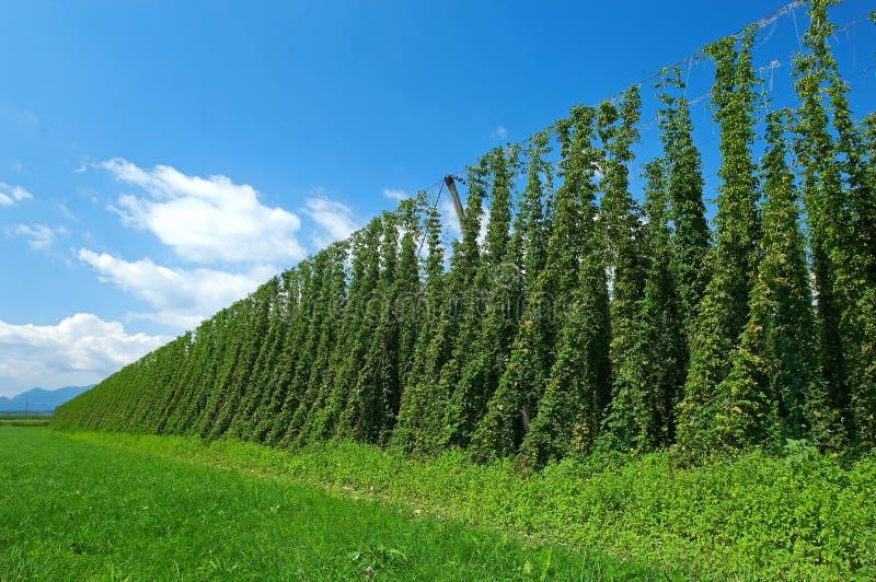 Plantation d'houblon photos libres de droits