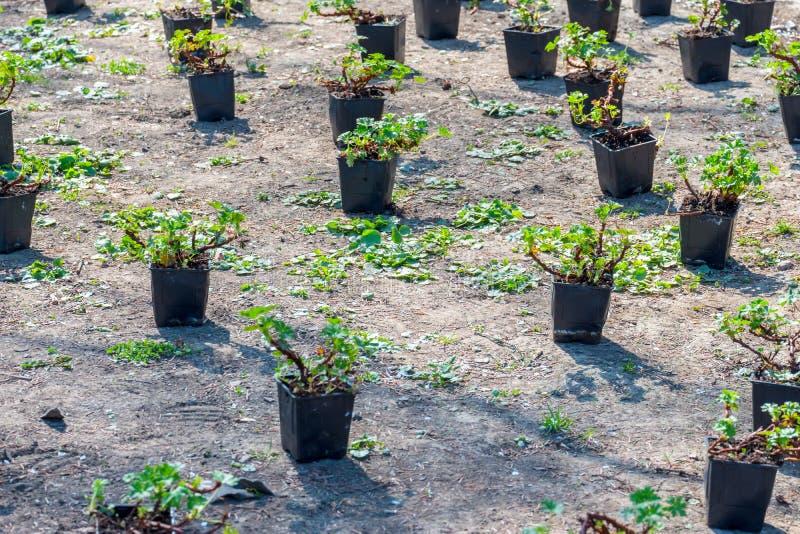 Plantation d'un arbre Plan rapproch? sur le jeune homme plantant l'arbre tout en travaillant dans le jardin images libres de droits