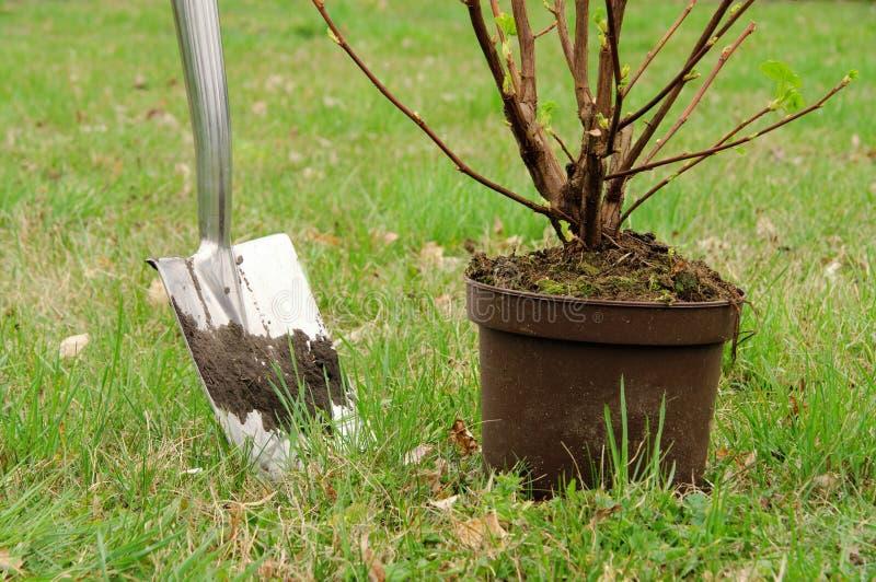 Plantation d'un arbuste photo stock