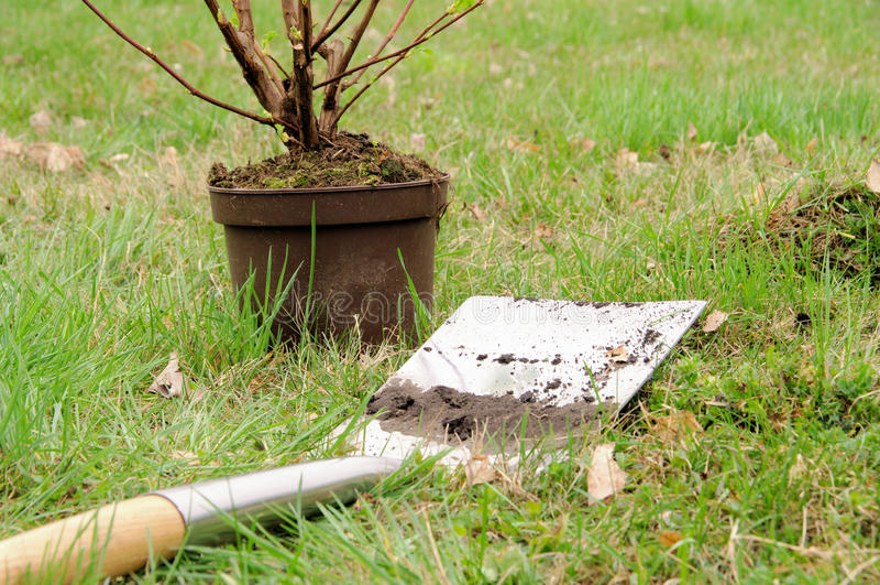 Plantation d'un arbuste photo libre de droits
