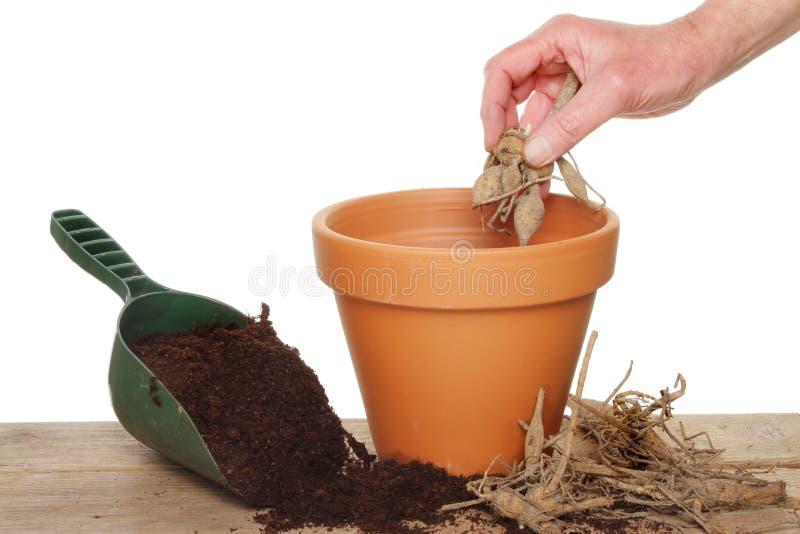Plantation d'un dahlia image stock
