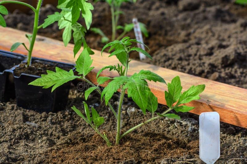Plantation d'une jeune plante de tomate dans le potager image stock