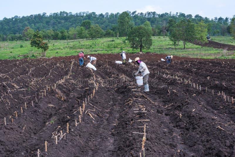 Plantation dans le domaine de manioc photos stock